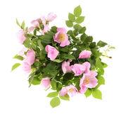 Rosehip flower, — Stock Photo