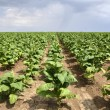 Stock Photo: Tobacco plant