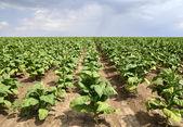 Tobacco plant — Stock Photo