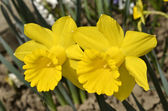 Close-up of two narcissus  spring flowers — ストック写真