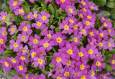 Colorful beautiful small purple flowers — Stock Photo