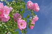 Pink roses climbing — Stock Photo