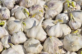 Close-up of a multitude of sprouting garlic — Stock Photo