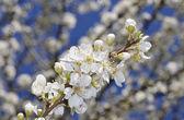 Fruit tree blossom close-up — Stock Photo