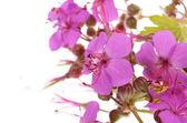 Geranium macrorrhizum blossoms — ストック写真