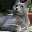 Russian Blue cat — Stock Photo #12800117
