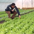 Stock Video: Greenhouse with salad