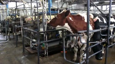 Dairy cows — Stock Video