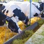 Cows — Stock Photo #25813873