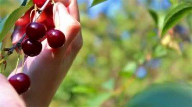 Recogiendo las cerezas maduras — Vídeo de Stock
