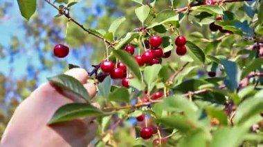 Körsbärsträd — Stockvideo