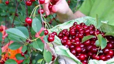 Basket full of cherries — Stock Video