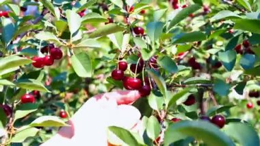 Branch of cherry — Stock Video