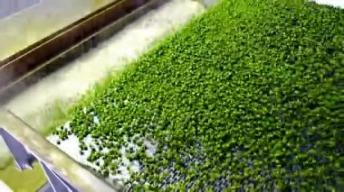 Peas in production — Stock Video