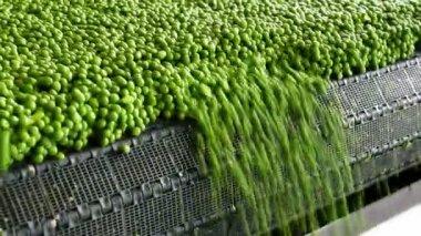 Peas processing — Stock Video