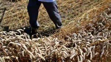 Segando trigo — Vídeo stock