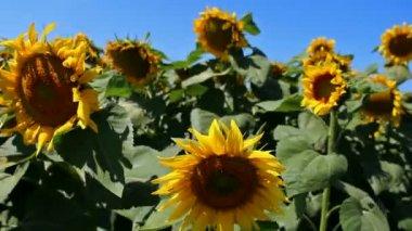 Sunflower field — Stock Video