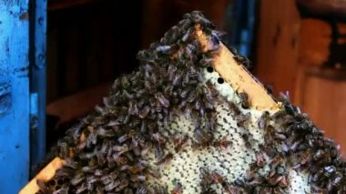 Bees in the hive frame — Vídeo de stock