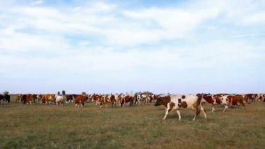 Rebanho de vacas — Vídeo Stock