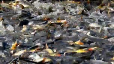 Caught Carp fish — Stock Video