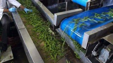 Green beans on a conveyor belt — Stock Video
