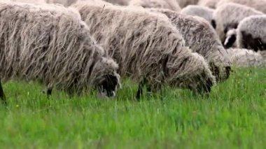 Owce na pastwisku — Wideo stockowe