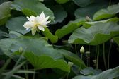 Blooming Lotus — Stock Photo