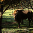 European bison in forest — Stock Photo