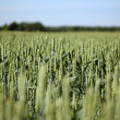 Green crop field with blue sky — Stock Photo