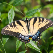 Stock Photo: Large Yellow Butterfly Extends Wings Fully