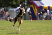 Dog Catches Frisbee And Hangs On — Foto de Stock