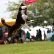 Stock Photo: Dog Jumps And Opens Mouth Wide To Catch Frisbee