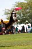 Dog Jumps And Opens Mouth Wide To Catch Frisbee — Stock Photo