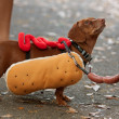 Dachshund Dressed In Hot Dog Costume For Halloween - Stockfoto