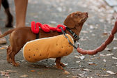 Dachshund Dressed In Hot Dog Costume For Halloween — Fotografia Stock