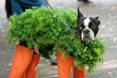 Dog Dressed In Chia Pet Costume For Halloween — Stock Photo