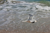 Seagull Glides Low Along Florida Beach — Stock Photo
