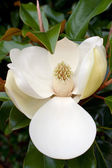 Blossom On Magnolia Tree — Stock Photo
