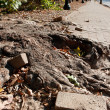 Massive Tree Root Pushes Through Solid Brick Sidewalk — Stok Fotoğraf #37773597