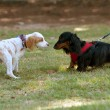 Two Cute Dogs Sniff And Check Each Other Out — Stock Photo #38072751