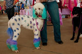 Poodle Dyed With Polka Dots And Colors At Festival — Photo