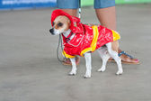 Jack Russell Terrier Wears Fireman Costume In Contest — Stock Photo