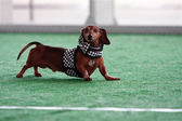 Cute Dachshund Wears Checkered Flag Outfit at Dog Festival — Foto Stock