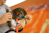 Dachshund Dressed Like Baby Wearing Diaper At Festival — Stock Photo
