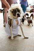 Dog Wears Marilyn Monroe Costume In Contest — Stock Photo