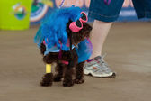 Dog Wears Lady Gaga Costume At Festival — Stock Photo