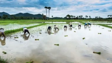 Time lapse farmer working plant rice in farm of Thailand — Stock Video