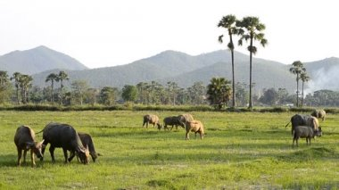 Asia buffalo group in countryside field of thailand — Stock Video