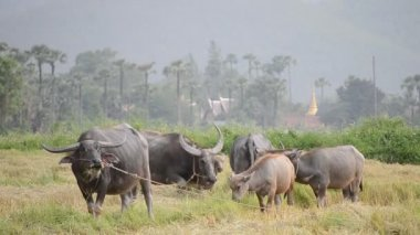 Buffalo flock eating grass in country farm of thailand Southeast asia — Stock Video