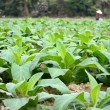 Tobacco farm and farmer take apply fertilizer for plants — Stock Video